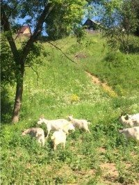 goats romanov