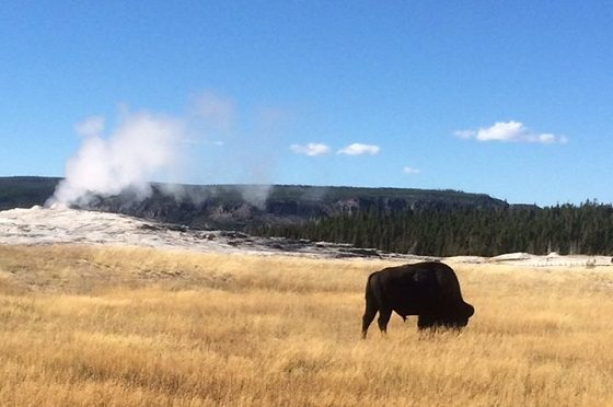 wildblue bison